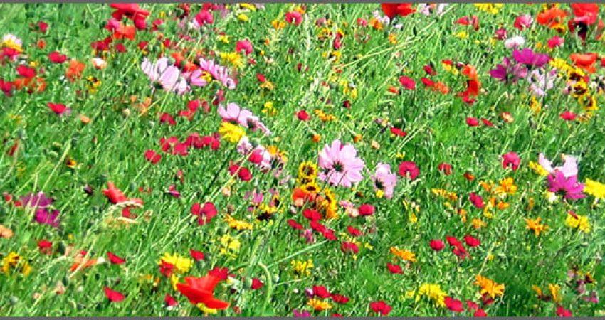 Wilde Wiese Blütenwiese