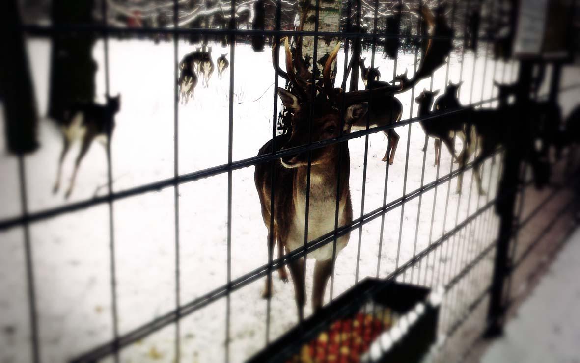 Winterlauf Eis Schnee Rotwild