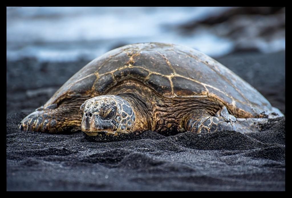 Schildkröte am Black Sand Beach Hawaii Big Island