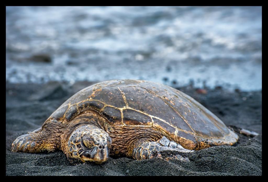 Turtle at the Big Island Punaluu Beach Travelblog Hawaii