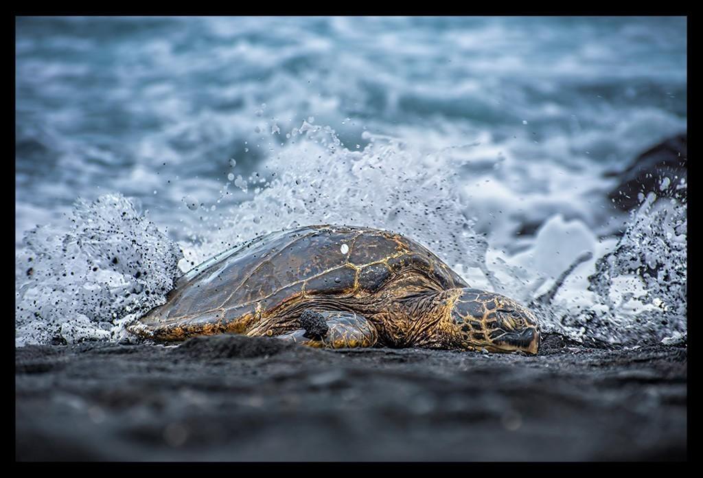 Punaluu Black Sand Beach Turtle