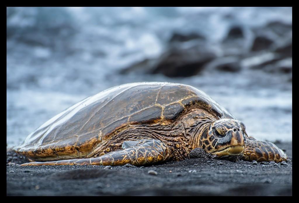 Turtle at the Black Sand Beach Hawaii Big Island