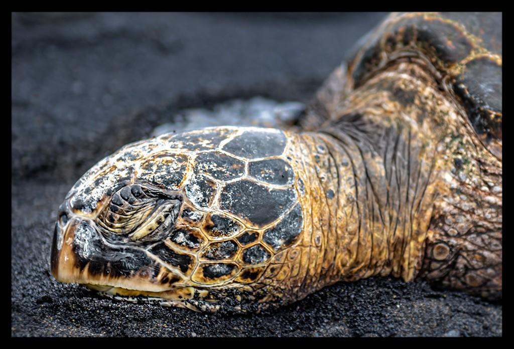 Hawaii - Big Island: Punaluu Black Sand Beach - von Vergänglichkeit, Schildkröten und Kokosnüssen