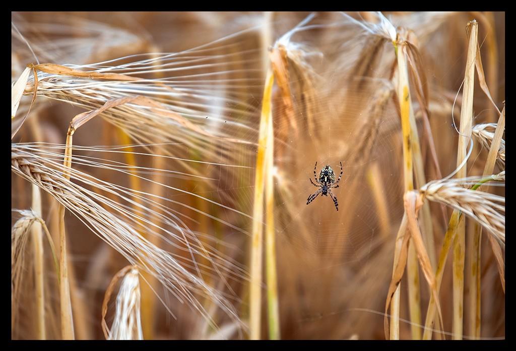 Große Spinne im Spinnennetz im Kornfeld